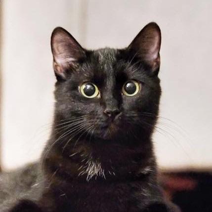 Lost Cat  Bess Female    American Shorthair  $200 REWARD