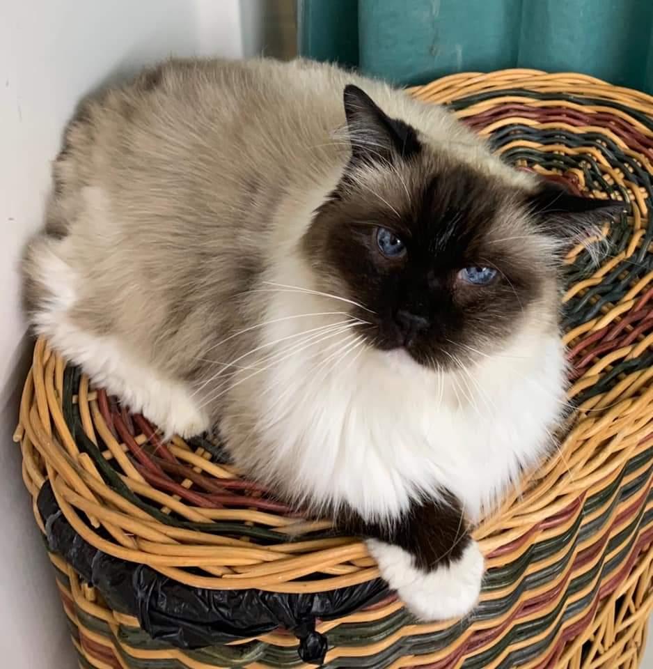 Lost Cat  Jinxy Male    Ragdoll