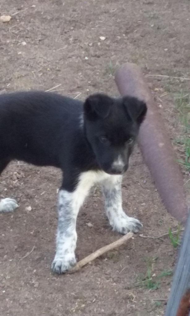 Lost Dog  Unknown Male   Border Collie   Undetermined REWARD
