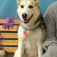 Missing female Husky - Cassie
