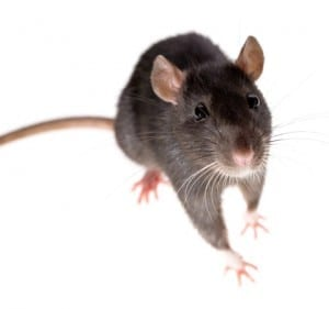 Roof rats in Phoenix AZ