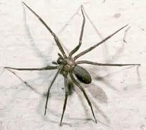 recluse dangerous spider