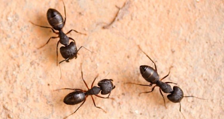 Argentine ant removal in arizona