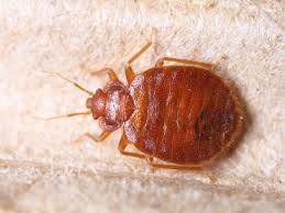 Bed bug in Phoenix