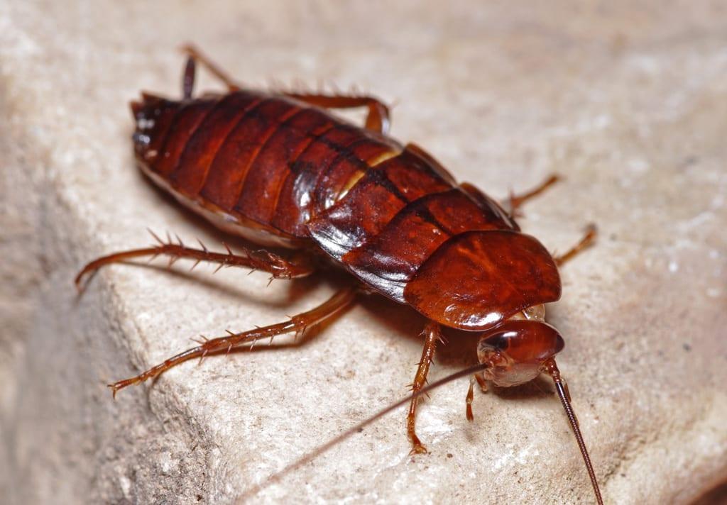 Oriental Cockroach in Phoenix