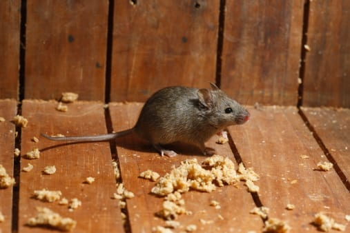 Mouse in Arizona House