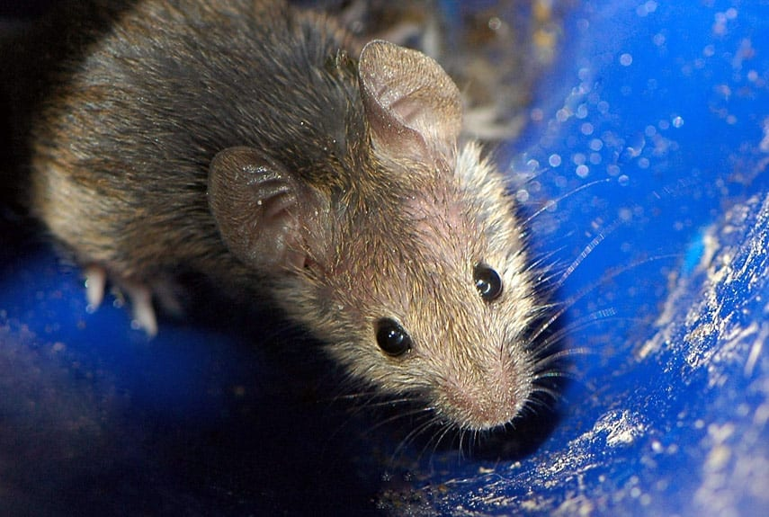 rodents in home during holidays