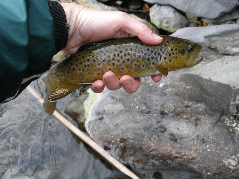 First Trout of Day - Brown