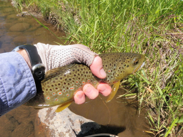 """First Trout of the Day, 13"""" Brown"""