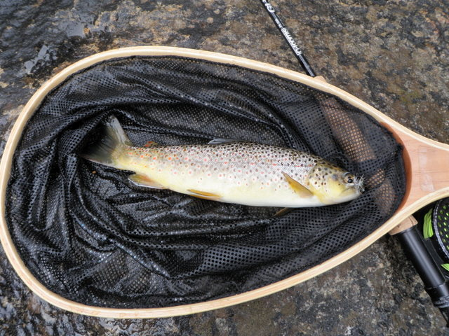 Early Brown Landed on Green Drake on Thursday