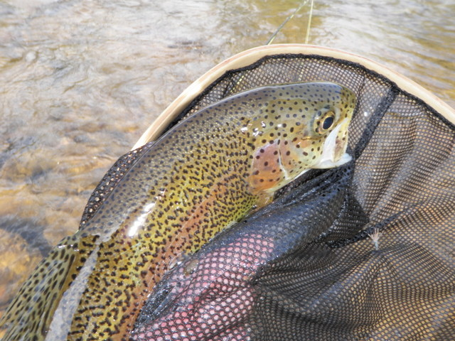 """14"""" Rainbow Was the Largest Fish on Thursday"""