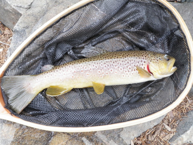 Nice Brown Took Salvation Nymph in Very Shallow Lie