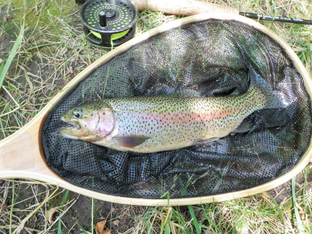 Nice Rainbow Landed from Upper Frying Pan Pool on Friday