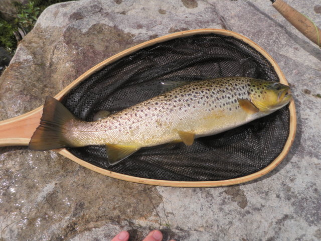 "16-17"" Brown Was Prize Catch on Sunday"