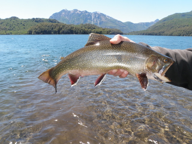 A Fat Brook Trout Landed Near Inlet to Lago Roca