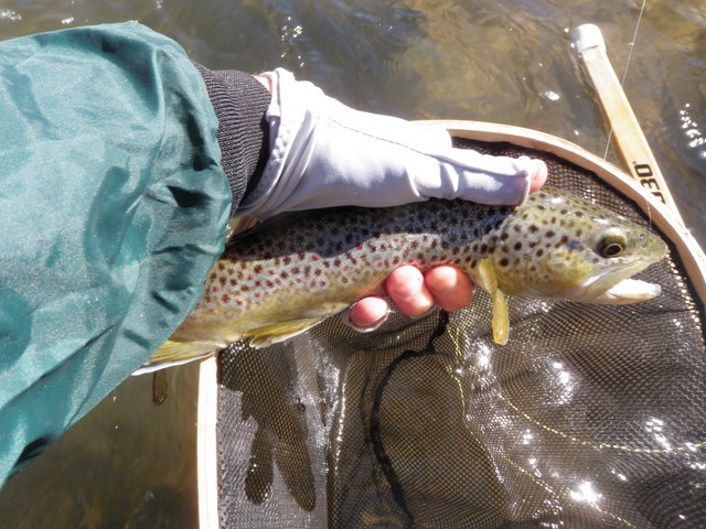 """First Fish Landed in 2014, a Skinny 12"""" Brown"""