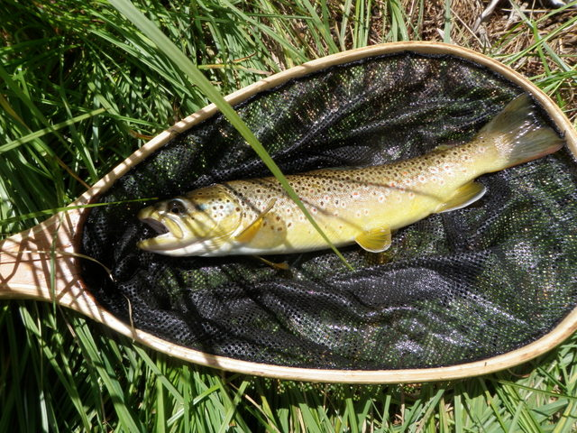 Nice Brown Trout Took Green Drake in Afternoon