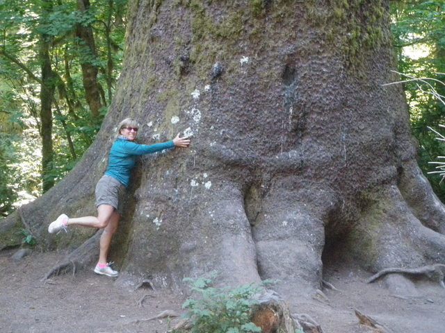 Huge Sitka Spruce Tree