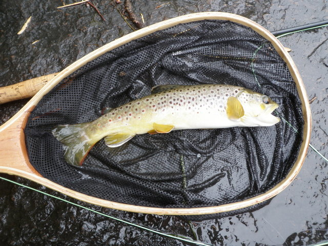A Nice Afternoon Brown Trout