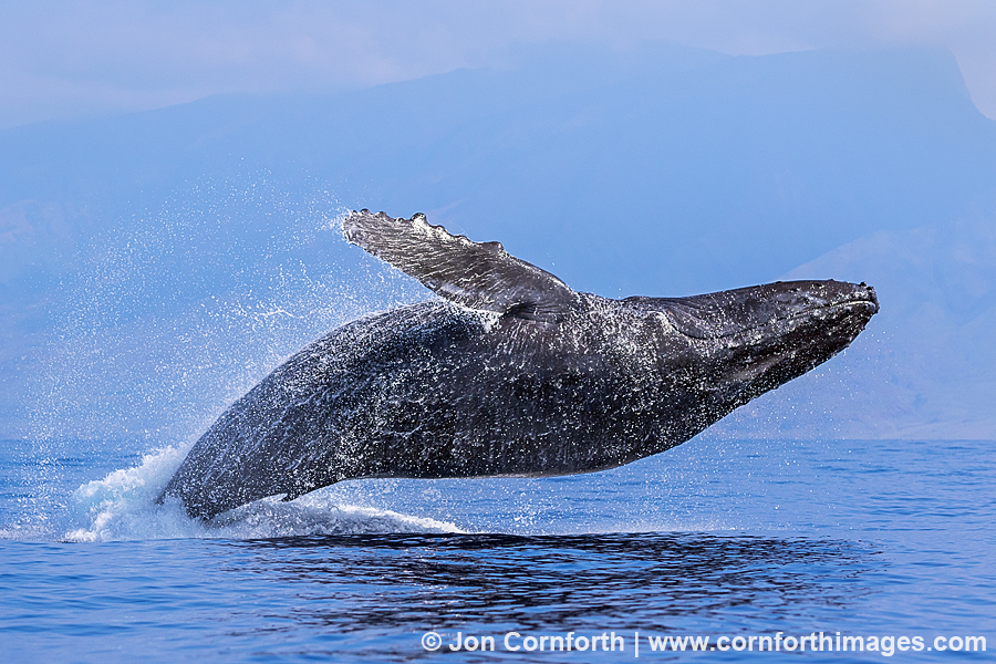 USA, Hawaii, Humpback whale (Megaptera novaeangliae) breach