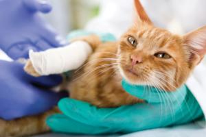 cat with broken leg