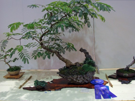 Best of Show and First Place, Tropical Trees Class 2010 Iowa State Fair, Alba Mimosa, Ivan Hanthorn