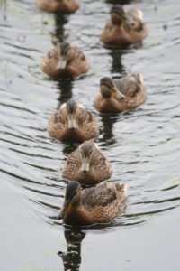 800px-Ducks-in-order