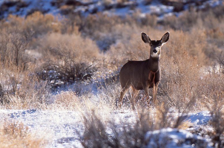 Mule deer on winter range