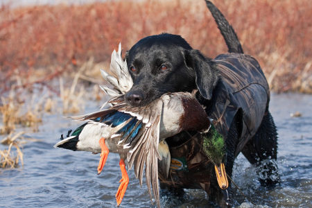 Black Lab with Mallard