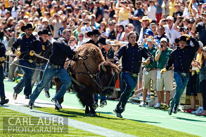 September 08, 2012: Ralphie V, the CU Buffaloes mascot takes the field prior to the Sacramento State Hornets and the Colorado Buffaloes at Folsom Field in Boulder CO