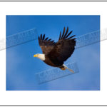 Last Chance for a Great Christmas Present!  Limited Edition Eagle Print