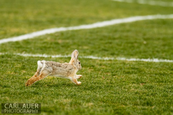 April 29th, 2013:  A rabbit sprints onto the the soccer field during the game between the Wheat Ridge Farmers and D'Evelyn Jaguars at the North Area Athletic Complex in Arvada, Colorado