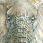 Elephant Portrait Drawing