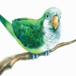 Perched Parrot Drawing