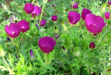 Plant Highlight: The Poppy Mallow Flatters Xeriscaped Lawns