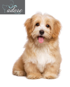 Beautiful happy reddish havanese puppy dog is sitting frontal and looking at camera, isolated on white background