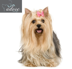 Yorkshire Terrier (6 years) in front of a white background