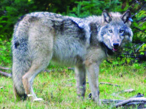 Wolf-impacted counties receive funds from ODA