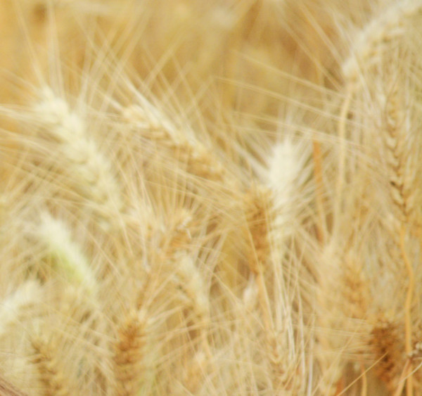 Ardent Mills to Help Farmers Double U.S. Organic Wheat Acres by 2019