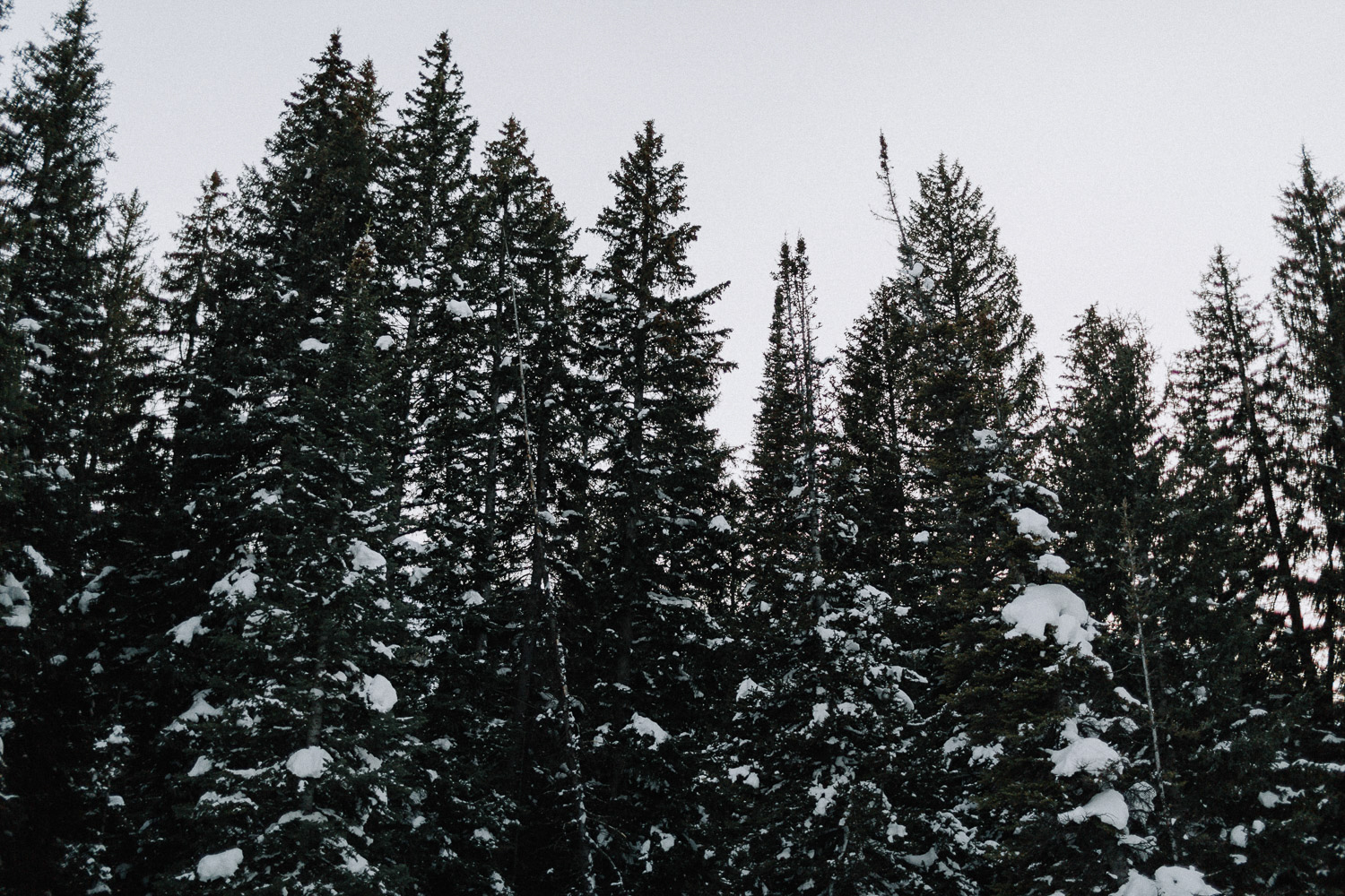 Image of pine trees with snow in winter