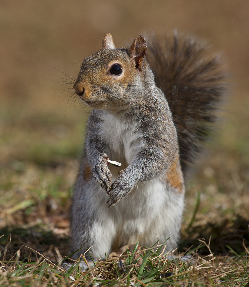 Squirrel standing on the ground, Guy Sagi