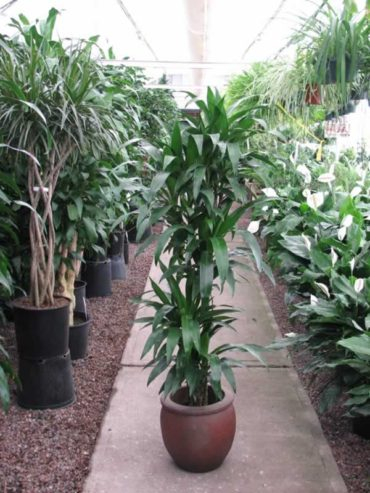 Why are there so many varieties of Dracaena?