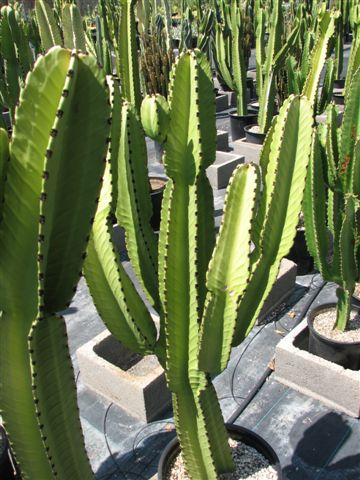 Euphorbia Ingens is another plant which requires high light.  It is great for the popular Tribal style.