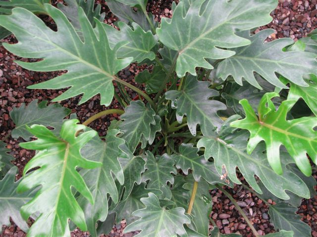 Philodendron Varieties are Cordatum, Split Leaf, Bullwinkle and Xanadu.  They need low to high light, depending on the variety.