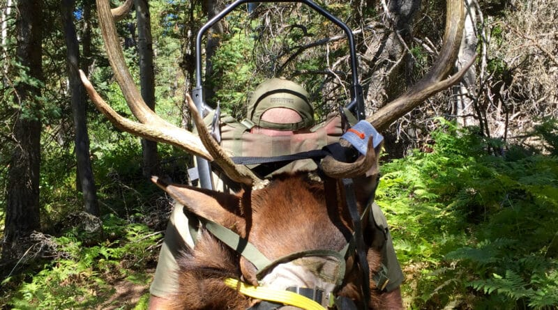 Hunter packing out a bull elk