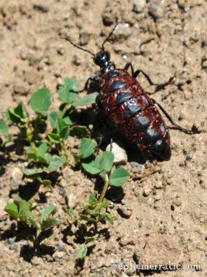 Maroon and black beetle, Colca Canyon, Peru photo