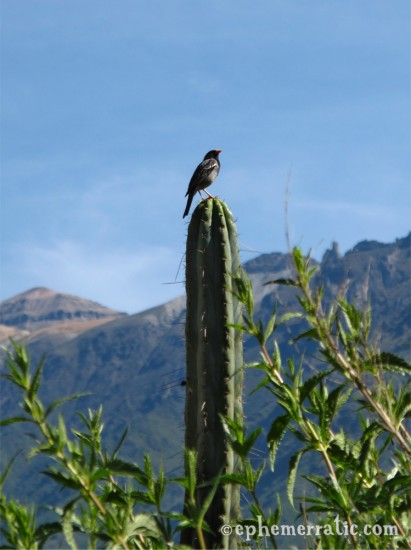 Bird perched on a cactus, Colca Canyon, Peru photo
