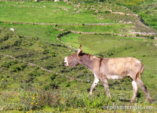 Braying donkey, Colca Canyon, Peru photo