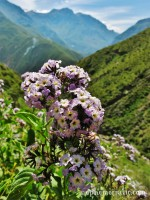Purple flowers and a view of Colca Canyon, Peru photo