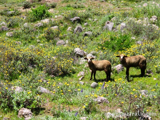 Pair of sheep in a field of flowers, Colca Canyon, Peru photo